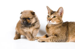 The puppy with a cat. The puppy of the spitz-dog with a cat Royalty Free Stock Image