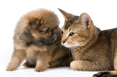 The puppy with a cat. The puppy of the spitz-dog with a cat Royalty Free Stock Photo