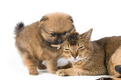 The puppy with a cat. The puppy of the spitz-dog with a cat Stock Photos