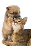 The puppy with a cat. The puppy of the spitz-dog with a cat Royalty Free Stock Photos