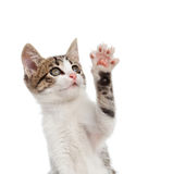 Puppy cat greeting with paw. Puppy cat while greeting with his paw on white background royalty free stock image