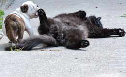 Puppy and cat playing royalty free stock photo