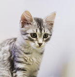 Puppy cat of siberian breed, silver version Royalty Free Stock Photo