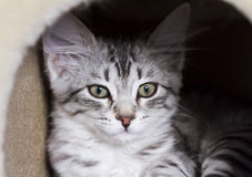 Puppy cat of siberian breed, silver version Stock Photography