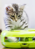 Puppy cat of siberian breed, silver version Stock Photo