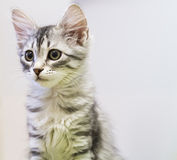 Puppy cat of siberian breed, silver version Royalty Free Stock Photography