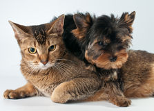 Puppy and cat in studio Royalty Free Stock Image