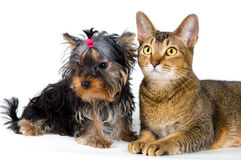 Puppy and cat in studio on a neutral background Royalty Free Stock Photography