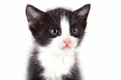 Puppy cat. On white background Royalty Free Stock Photos