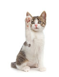Puppy cat on white background Royalty Free Stock Image