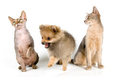 The puppy and cats. The puppy of the spitz-dog with cats in studio Royalty Free Stock Photography