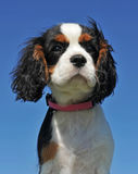 Puppy cavalier king charles Stock Image