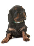 Puppy cavalier king charles royalty free stock photos