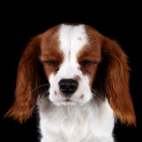 Puppy Cavalier King Charles Spaniel. A porrait of a young puppy cavalier king charles spaniel with his eyes shut as he is falling asleep Royalty Free Stock Image