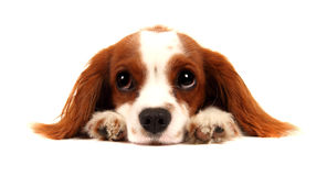 Puppy Cavalier King Charles Spaniel Stock Photos
