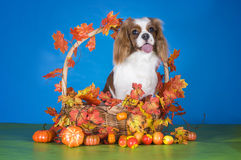 Puppy Cavalier King Charles Spaniel in autumn basket on blue iso Royalty Free Stock Image