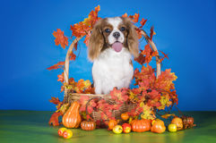 Puppy Cavalier King Charles Spaniel in autumn basket on blue iso Royalty Free Stock Images