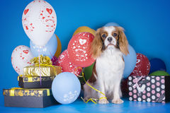 Puppy Cavalier King Charles Spaniel with balloons and gifts on b. Lue  background Stock Images