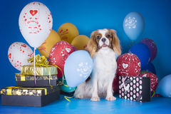 Puppy Cavalier King Charles Spaniel with balloons and gifts on b. Lue isolated background Royalty Free Stock Images