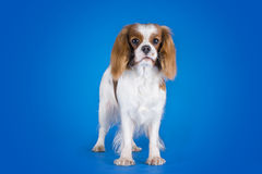 Puppy Cavalier King Charles Spaniel  on a blue backgroun Stock Images