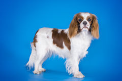 Puppy Cavalier King Charles Spaniel  on a blue backgroun Royalty Free Stock Photography