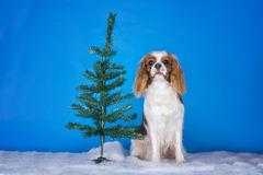 Puppy Cavalier King Charles Spaniel in a Christmas tree Royalty Free Stock Image