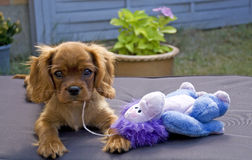 Puppy Royalty Free Stock Photography