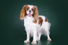 Puppy Cavalier King Charles Spaniel on a green isolated backgrou Stock Photography