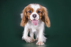 Puppy Cavalier King Charles Spaniel on a green isolated backgrou Royalty Free Stock Images