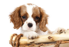 Puppy Cavalier King Charles Stock Photo