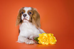 Puppy Cavalier King Charles Spaniel on orange isolated backgroun Royalty Free Stock Images