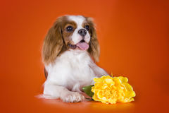 Puppy Cavalier King Charles Spaniel on orange isolated backgroun Royalty Free Stock Image