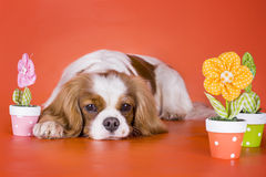 Puppy Cavalier King Charles Spaniel on orange isolated backgroun Stock Photos