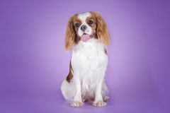 Puppy Cavalier King Charles Spaniel on a purple background isola Royalty Free Stock Image