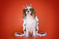 Puppy Cavalier King Charles Spaniel in a suit of the Queen on or Royalty Free Stock Image