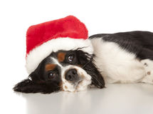 Puppy Cavalier King Charles Spaniel Stock Image