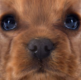 Puppy cavalier king charles Stock Images