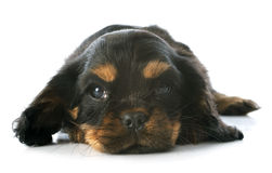 Puppy cavalier king charles Royalty Free Stock Images