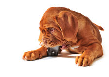 Puppy with Cell Phone. Cute Puppy of Dogue de Bordeax Playing with Cell Phone stock photos
