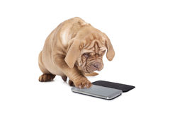 Puppy with cellular phone. Puppy of Dogue de Bordeaux (French mastiff) interact with cellular phone Royalty Free Stock Photos