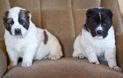 Puppy of the Central Asian sheep-dog Royalty Free Stock Photos