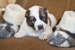 Puppy of the Central Asian sheep-dog Royalty Free Stock Images