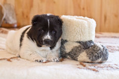 Puppy of the Central Asian sheep-dog Stock Photography