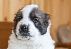 Puppy of the Central Asian sheep-dog Royalty Free Stock Photography