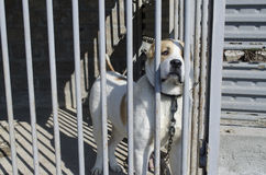 Puppy Central Asian shepherd dog alabai Stock Photo