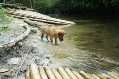 Puppy on the chain clean drinking water from the river Stock Photography