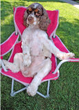 Puppy in chair 2. Abby in chair royalty free stock photos