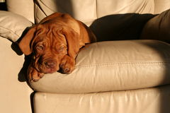 Puppy on chair. A dogue de bordeaux puppy on a chair Stock Photography