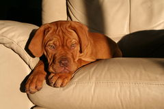 Puppy on chair. A dogue de bordeaux puppy on the furniture Stock Photography
