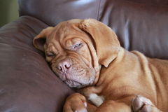 Puppy on chair. Dogue de bordeaux puppy laying on the furniture Royalty Free Stock Photography